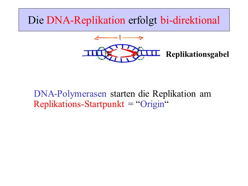 Die DNA-Replikation erfolgt bi-direktional DNA-Polymerasen starten die Replikation am Replikations-Startpunkt = Origin Replikationsgabel