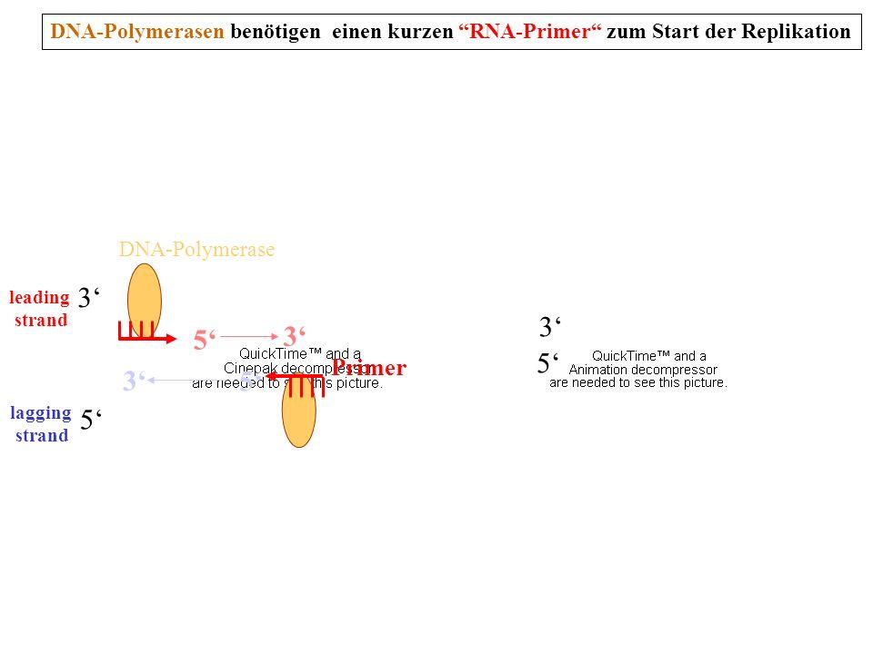 DNA-Polymerasen benötigen einen kurzen RNA-Primer zum Start der Replikation 5 3 3 5 5 3 5 3 leading strand lagging strand DNA-Polymerase Primer