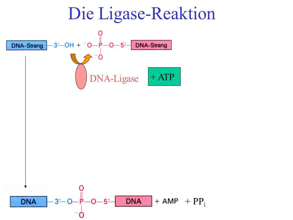 Die Ligase-Reaktion DNA-Ligase + ATP + PP i