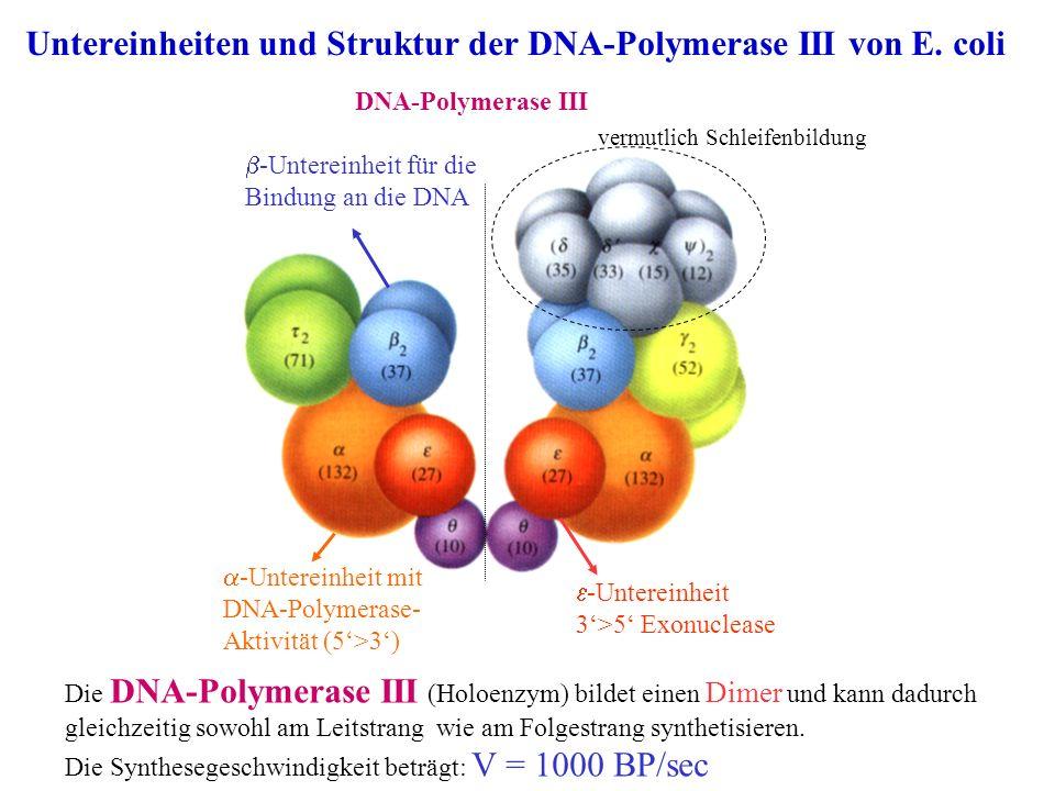 Untereinheiten und Struktur der DNA-Polymerase III von E. coli Die DNA-Polymerase III (Holoenzym) bildet einen Dimer und kann dadurch gleichzeitig sow