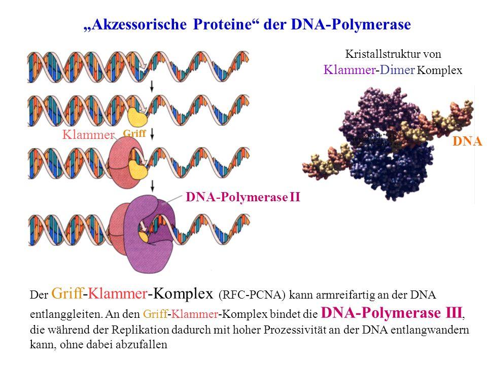 Akzessorische Proteine der DNA-Polymerase Klammer Griff Der Griff-Klammer-Komplex (RFC-PCNA) kann armreifartig an der DNA entlanggleiten. An den Griff