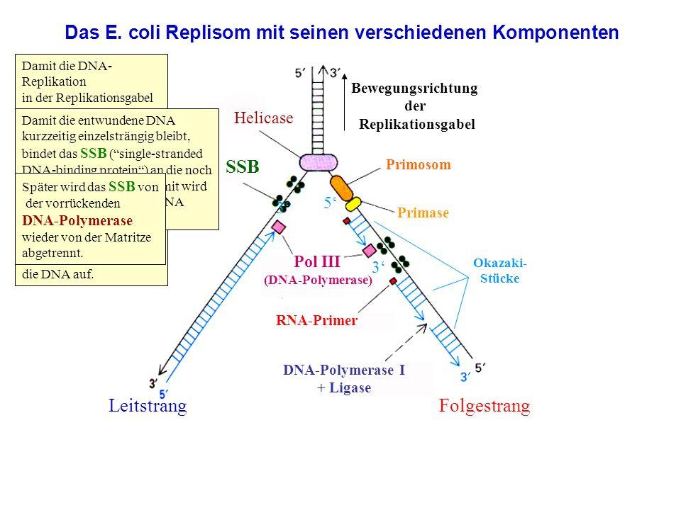 Das E. coli Replisom mit seinen verschiedenen Komponenten Bewegungsrichtung der Replikationsgabel LeitstrangFolgestrang SSB RNA-Primer Helicase DNA-Po