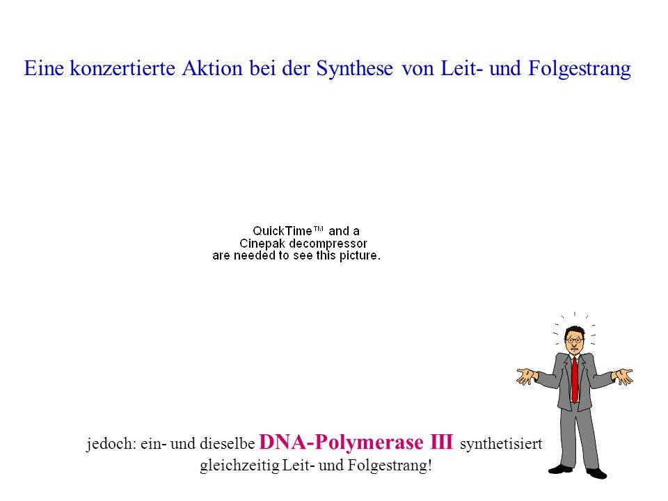 Eine konzertierte Aktion bei der Synthese von Leit- und Folgestrang jedoch: ein- und dieselbe DNA-Polymerase III synthetisiert gleichzeitig Leit- und