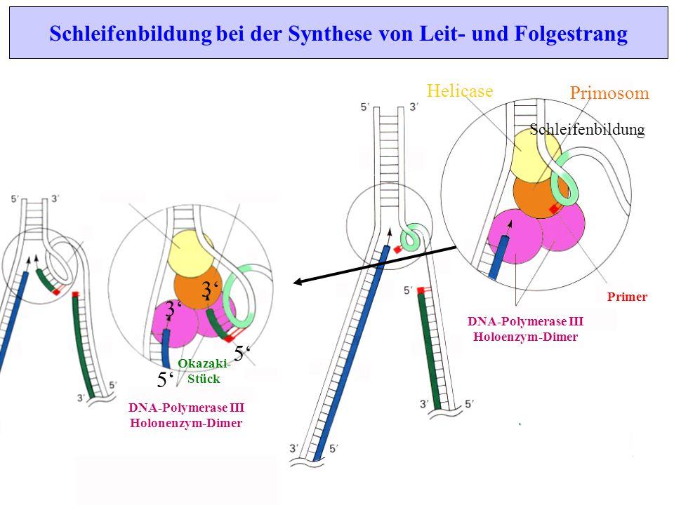 Primosom Helicase DNA-Polymerase III Holoenzym-Dimer Primer Schleifenbildung Schleifenbildung bei der Synthese von Leit- und Folgestrang 3 5 DNA-Polym