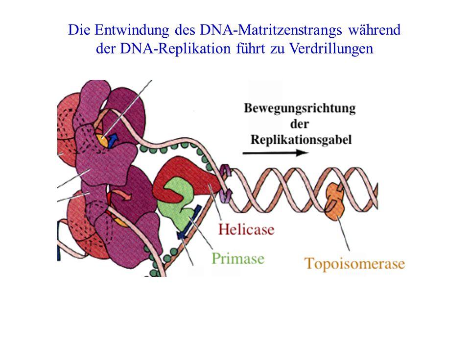 Die Entwindung des DNA-Matritzenstrangs während der DNA-Replikation führt zu Verdrillungen