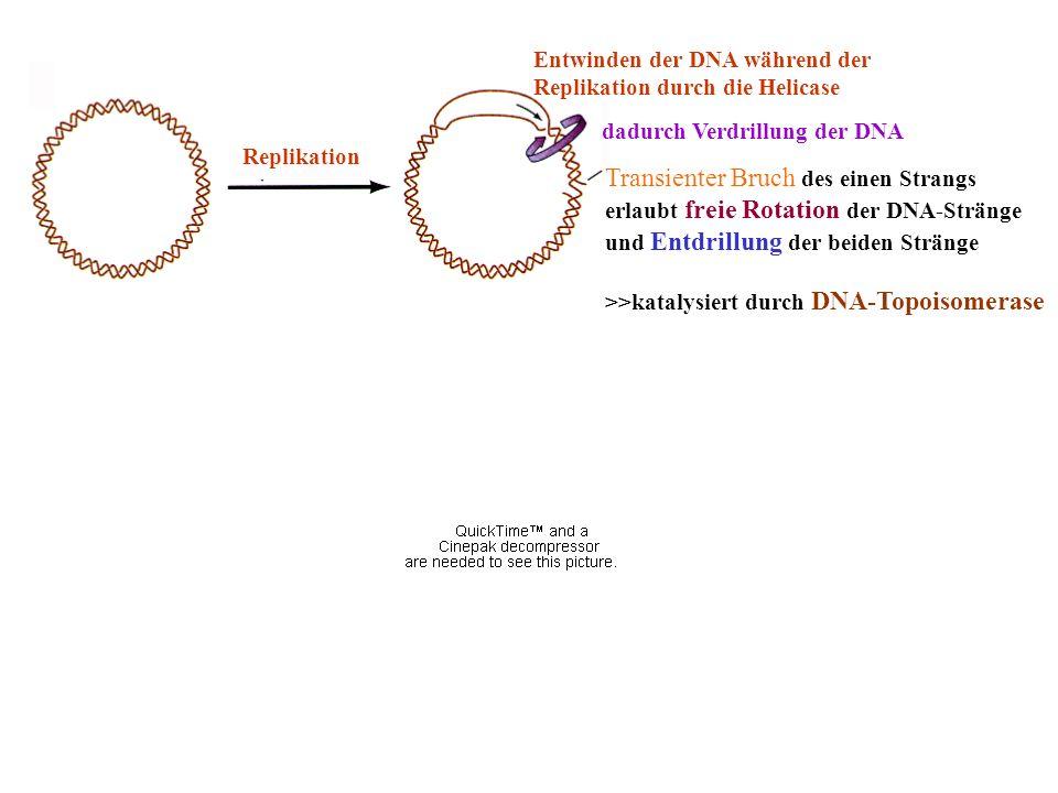 dadurch Verdrillung der DNA Entwinden der DNA während der Replikation durch die Helicase Transienter Bruch des einen Strangs erlaubt freie Rotation de