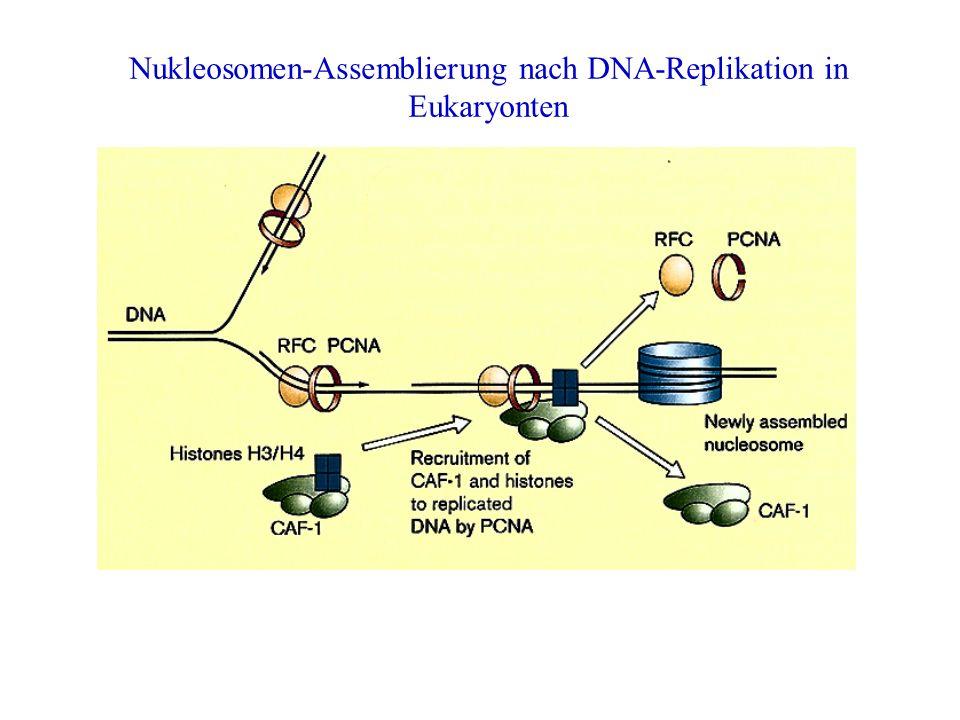 Nukleosomen-Assemblierung nach DNA-Replikation in Eukaryonten