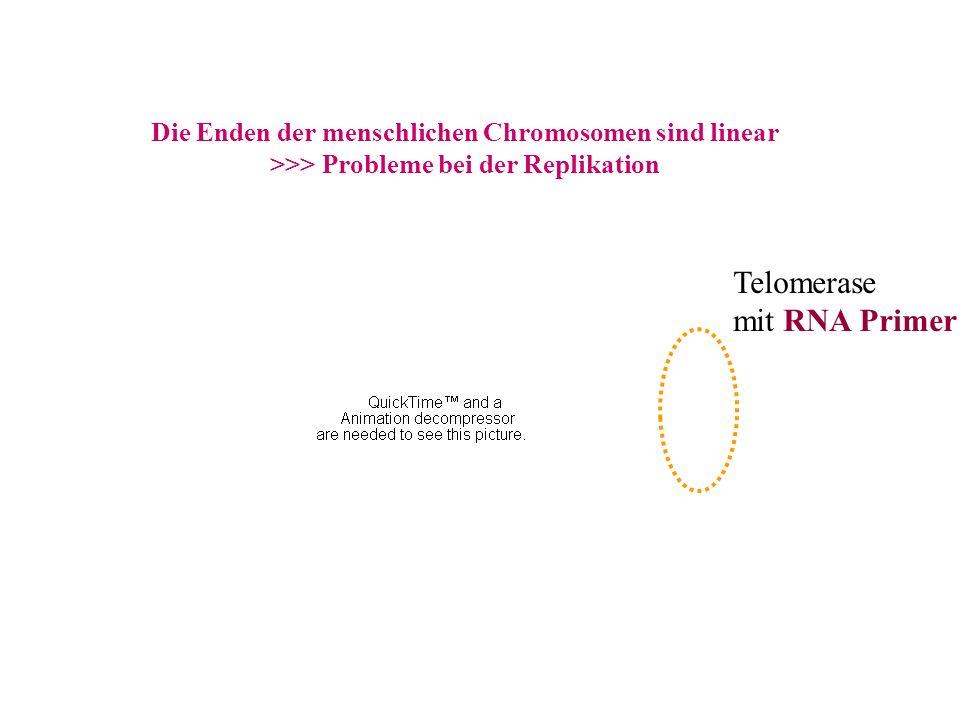 Die Enden der menschlichen Chromosomen sind linear >>> Probleme bei der Replikation Telomerase mit RNA Primer