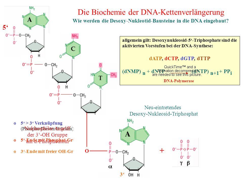Die Biochemie der DNA-Kettenverlängerung Wie werden die Desoxy-Nukleotid-Bausteine in die DNA eingebaut? o 5 > 3 Verknüpfung (Phospho-Diester-Brücken)