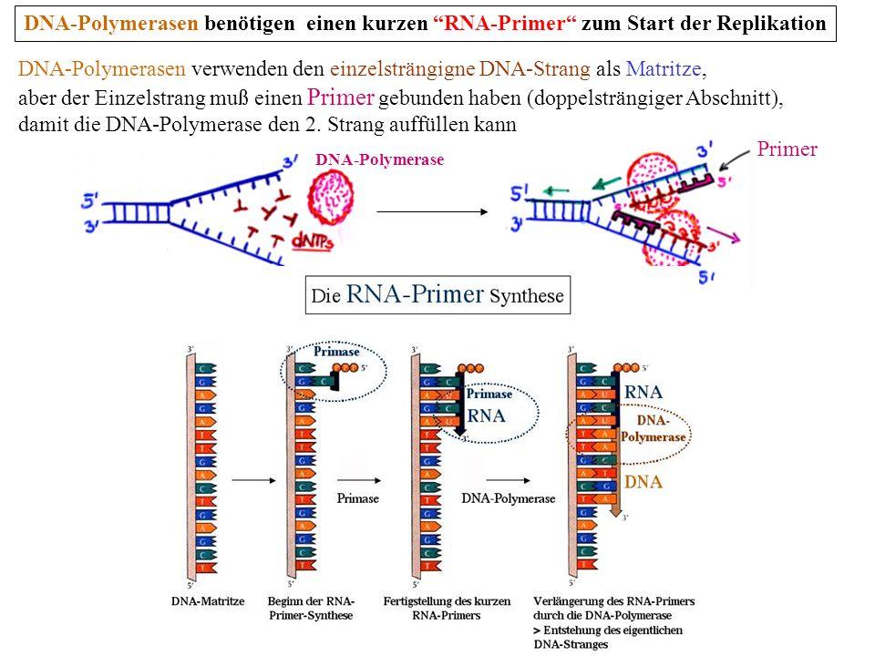 DNA-Polymerasen benötigen einen kurzen RNA-Primer zum Start der Replikation Primer DNA-Polymerase DNA-Polymerasen verwenden den einzelsträngigne DNA-S