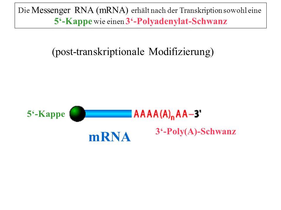 3 Polyadenylat-Schwanz mRNA 55 55 3 Spaltsignal mRNA n = 200 - 300 Nukleotide der Polyadenylatschwanz wird erst zum Ende der Transkription von einem Enzym ( PolyA-Polymerase ) an das gespaltende 3-Ende angehängt ( Transkriptions-Termination ) Spaltung durch Endonuclease Der polyA-Schwanz 1.