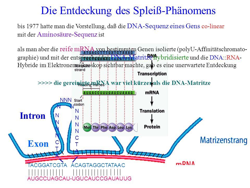 Die Entdeckung des Spleiß-Phänomens bis 1977 hatte man die Vorstellung, daß die DNA-Sequenz eines Gens co-linear mit der Aminosäure-Sequenz ist als ma