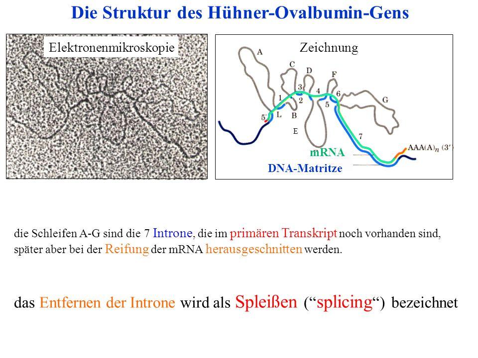 Die Struktur des Hühner-Ovalbumin-Gens DNA-Matritze ElektronenmikroskopieZeichnung E mRNA die Schleifen A-G sind die 7 Introne, die im primären Transk