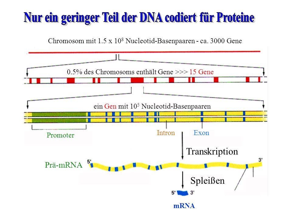Chromosom mit 1.5 x 10 8 Nucleotid-Basenpaaren - ca. 3000 Gene 0.5% des Chromosoms enthält Gene >>> 15 Gene ein Gen mit 10 5 Nucleotid-Basenpaaren Pro