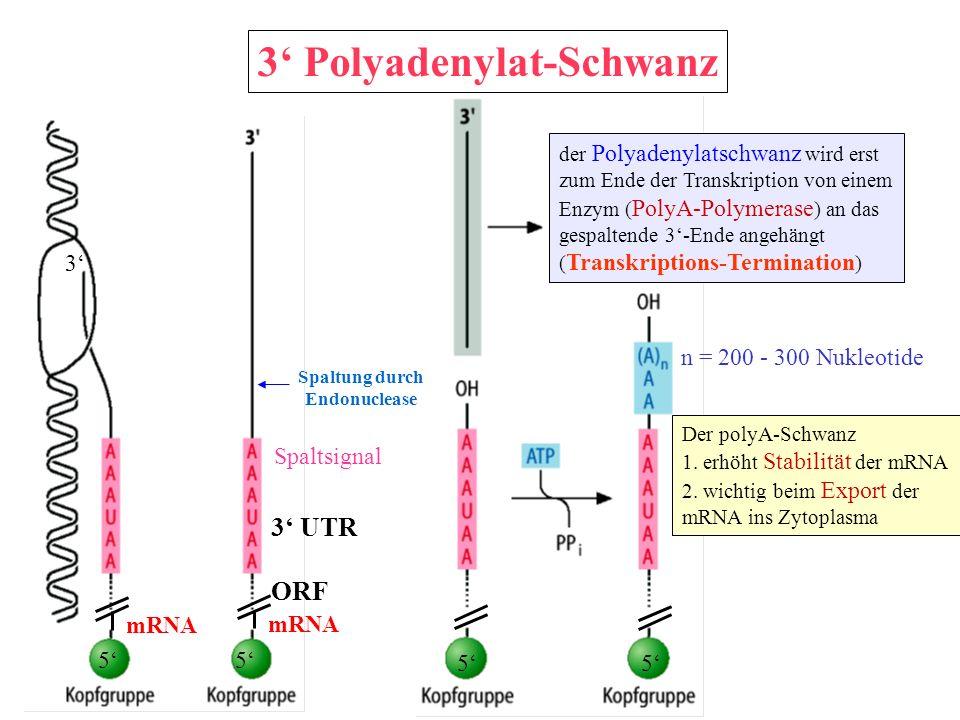 3 Polyadenylat-Schwanz mRNA 55 55 3 Spaltsignal mRNA n = 200 - 300 Nukleotide der Polyadenylatschwanz wird erst zum Ende der Transkription von einem E