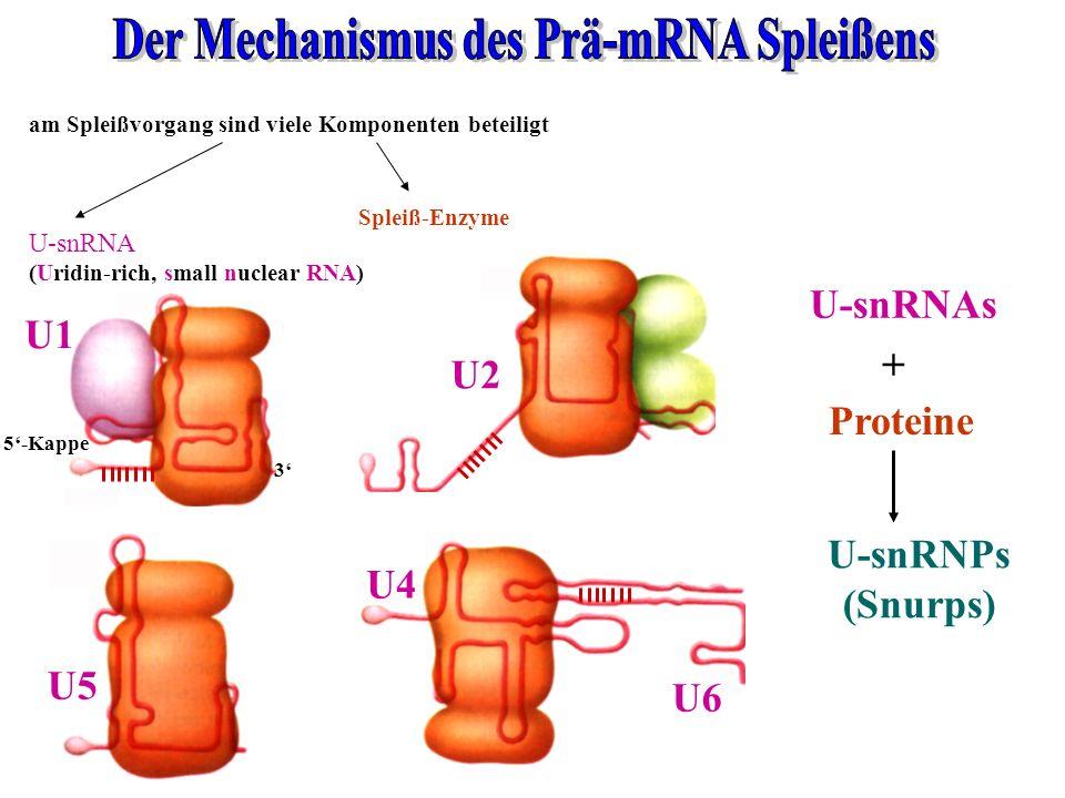 am Spleißvorgang sind viele Komponenten beteiligt Spleiß-Enzyme 5-Kappe 3 U1 U2 U5 U6 U4 U-snRNA (Uridin-rich, small nuclear RNA) U-snRNAs Proteine +