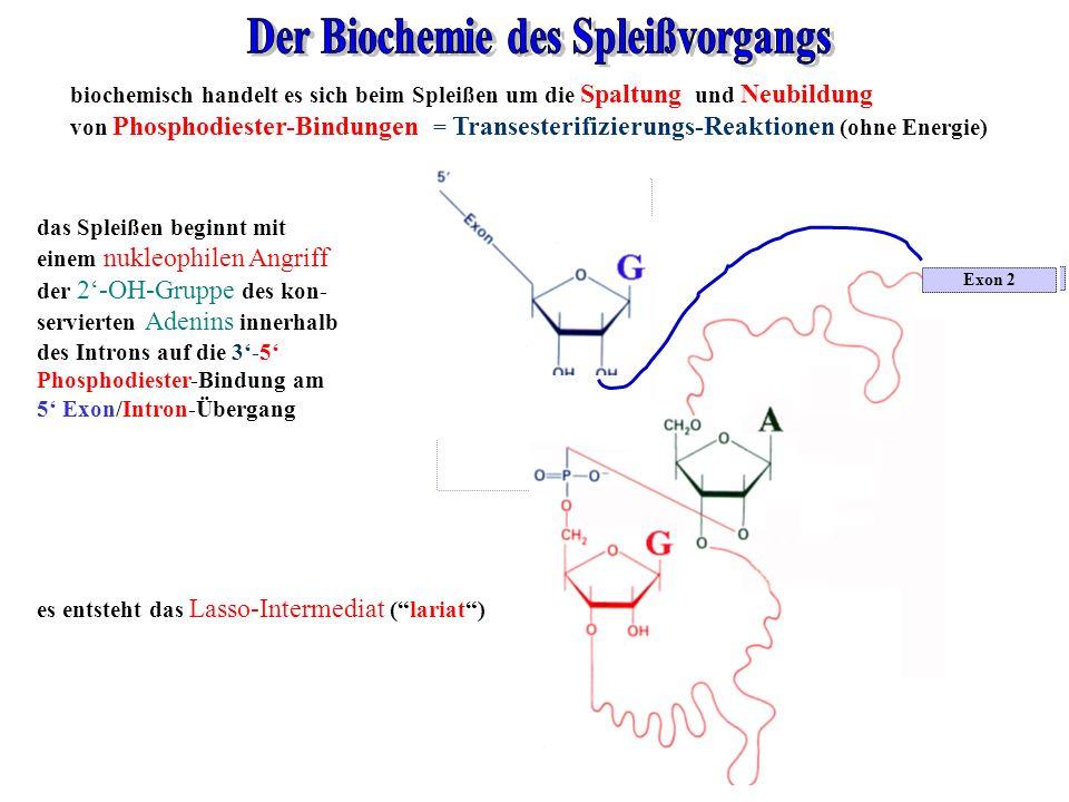 Exon 2 Intron konserviertes A in TACTAAC-Sequenz biochemisch handelt es sich beim Spleißen um die Spaltung und Neubildung von Phosphodiester-Bindungen