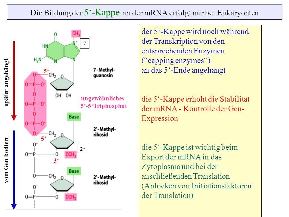 Die Bildung der 5-Kappe an der mRNA erfolgt nur bei Eukaryonten ungewöhnliches 5-5Triphosphat 7 2 5 5 3 der 5-Kappe wird noch während der Transkriptio