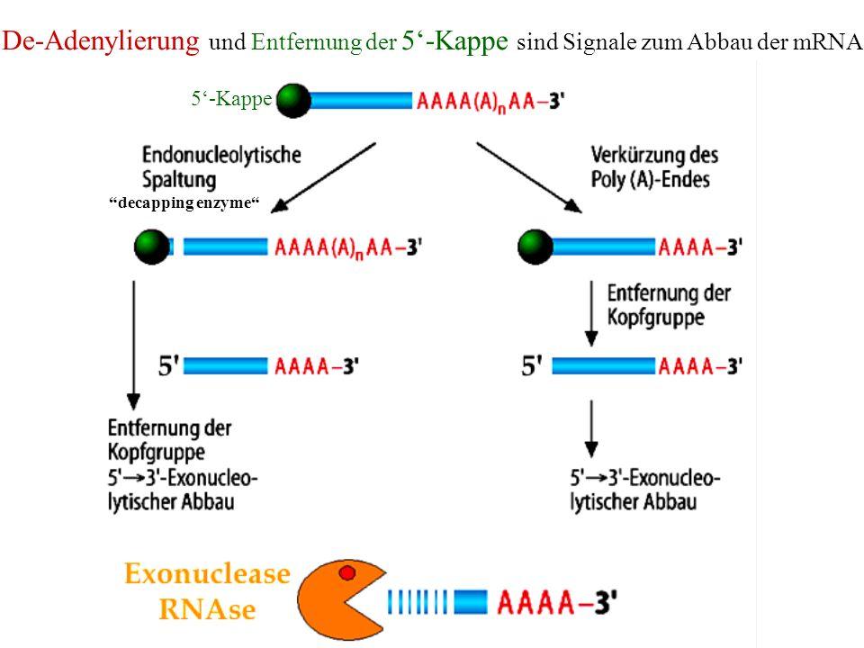 De-Adenylierung und Entfernung der 5-Kappe sind Signale zum Abbau der mRNA 5-Kappe decapping enzyme