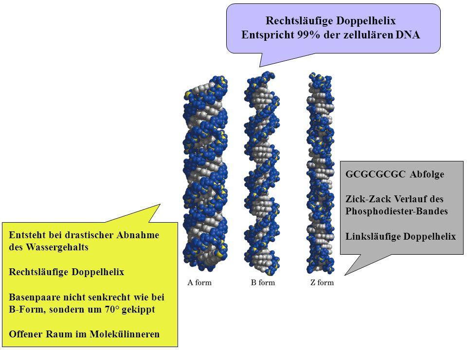 Rechtsläufige Doppelhelix Entspricht 99% der zellulären DNA GCGCGCGC Abfolge Zick-Zack Verlauf des Phosphodiester-Bandes Linksläufige Doppelhelix Ents