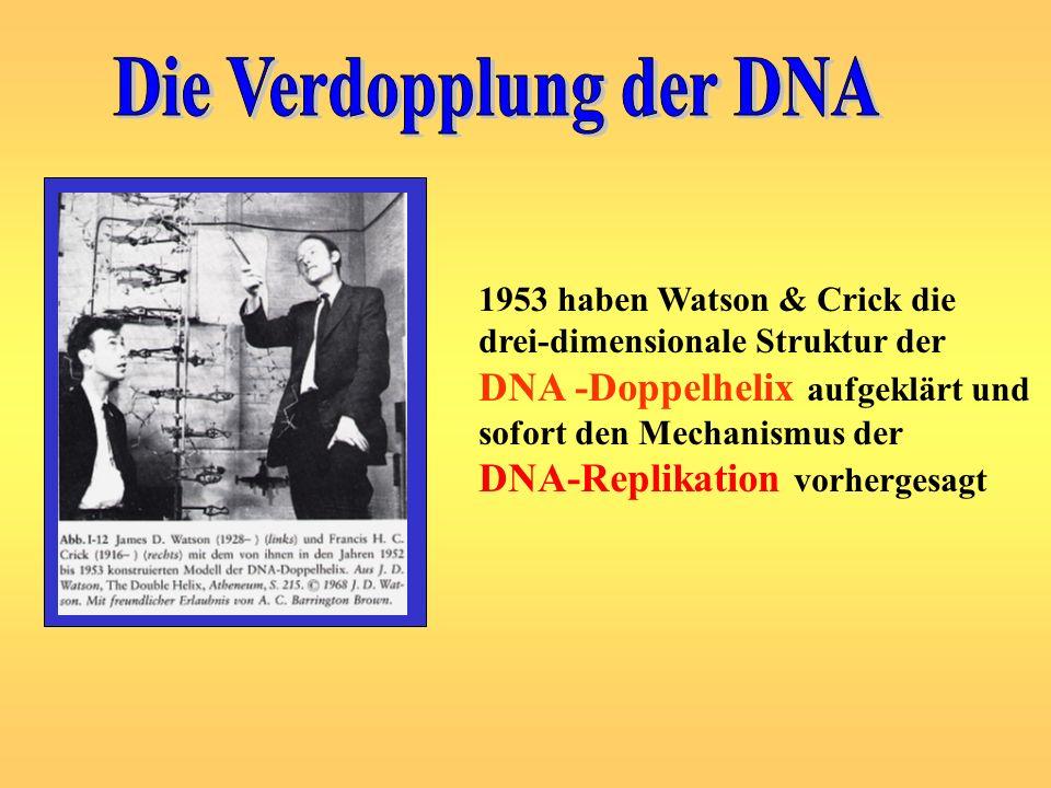 1953 haben Watson & Crick die drei-dimensionale Struktur der DNA -Doppelhelix aufgeklärt und sofort den Mechanismus der DNA-Replikation vorhergesagt