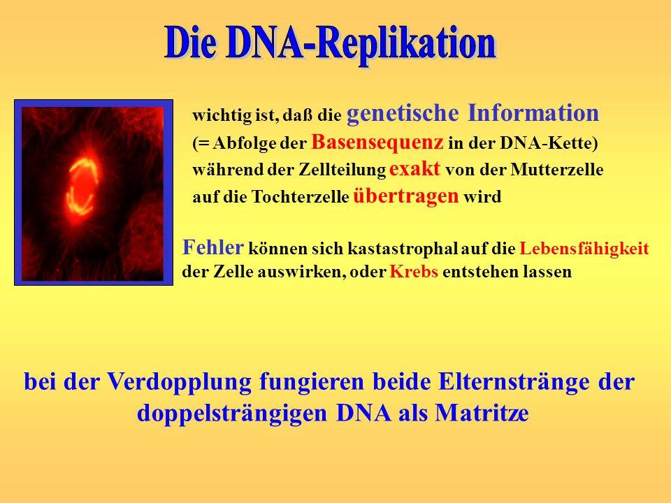 wichtig ist, daß die genetische Information (= Abfolge der Basensequenz in der DNA-Kette) während der Zellteilung exakt von der Mutterzelle auf die To
