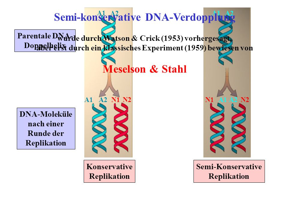 Parentale DNA- Doppelhelix DNA-Moleküle nach einer Runde der Replikation Konservative Replikation A1 A2 Semi-Konservative Replikation A1 A2 A1A2N1N2A1