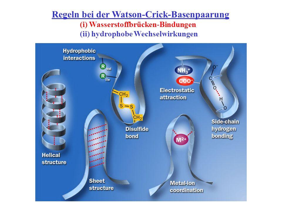 Regeln bei der Watson-Crick-Basenpaarung (i) Wasserstoffbrücken-Bindungen (ii) hydrophobe Wechselwirkungen
