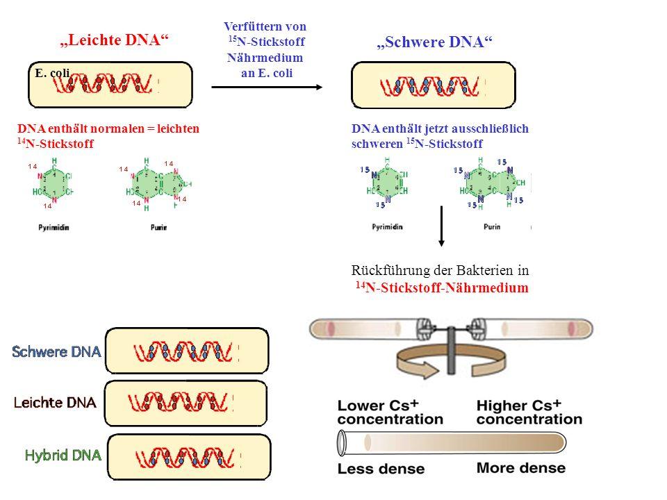 Verfüttern von 15 N-Stickstoff Nährmedium an E. coli DNA enthält normalen = leichten 14 N-Stickstoff E. coli Leichte DNA DNA enthält jetzt ausschließl