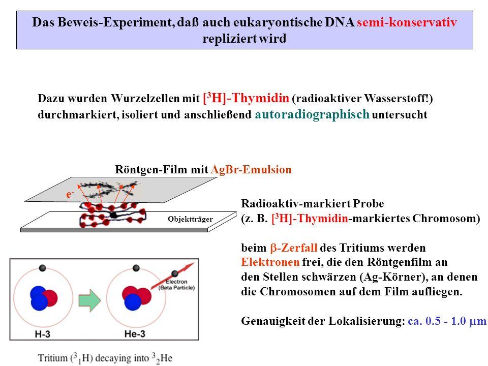 Das Beweis-Experiment, daß auch eukaryontische DNA semi-konservativ repliziert wird Dazu wurden Wurzelzellen mit [ 3 H]-Thymidin (radioaktiver Wassers