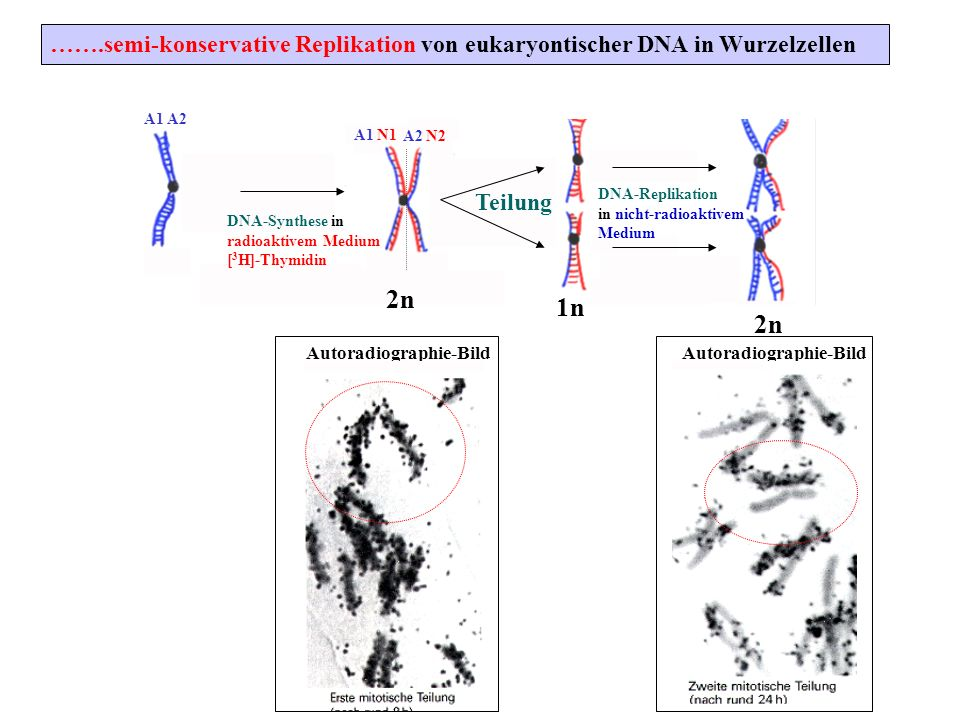 …….semi-konservative Replikation von eukaryontischer DNA in Wurzelzellen A1 A2 A1 N1 A2 N2 Teilung DNA-Replikation in nicht-radioaktivem Medium DNA-Sy