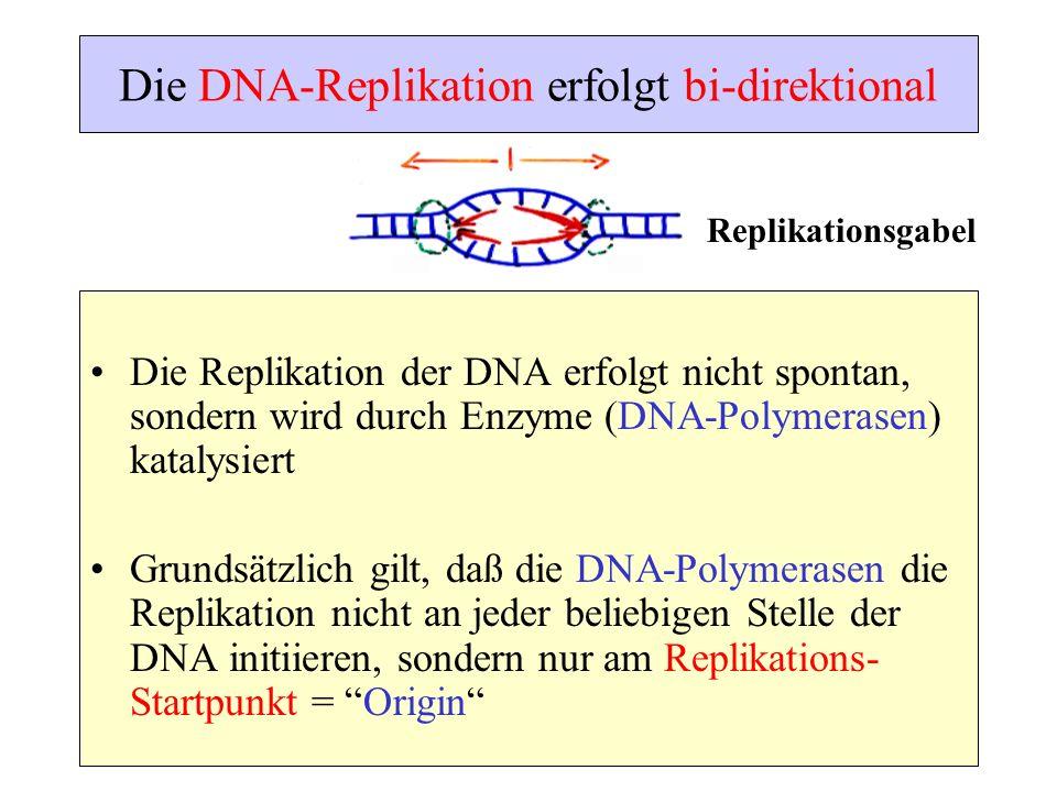 Die DNA-Replikation erfolgt bi-direktional Die Replikation der DNA erfolgt nicht spontan, sondern wird durch Enzyme (DNA-Polymerasen) katalysiert Grun