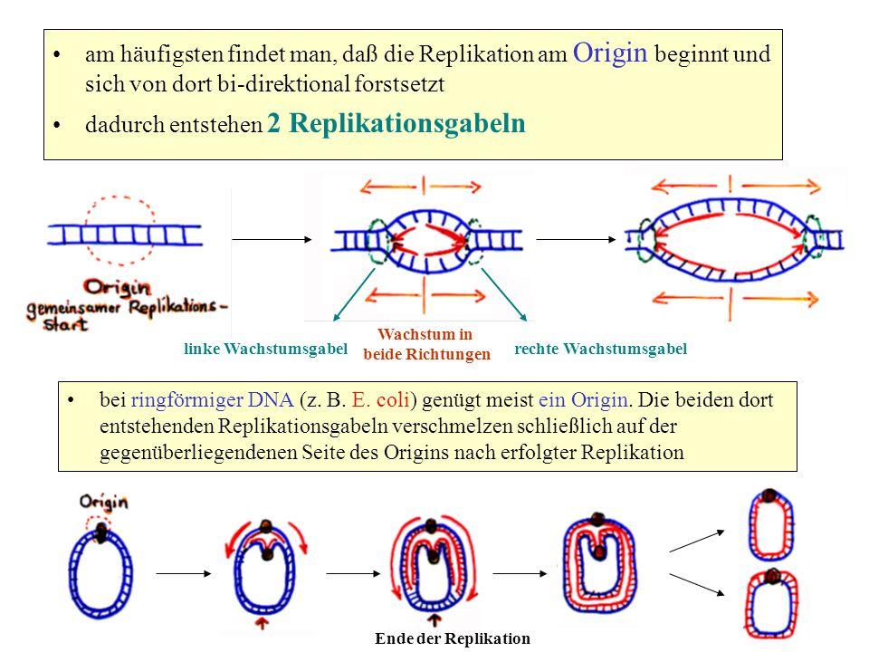 am häufigsten findet man, daß die Replikation am Origin beginnt und sich von dort bi-direktional forstsetzt dadurch entstehen 2 Replikationsgabeln bei
