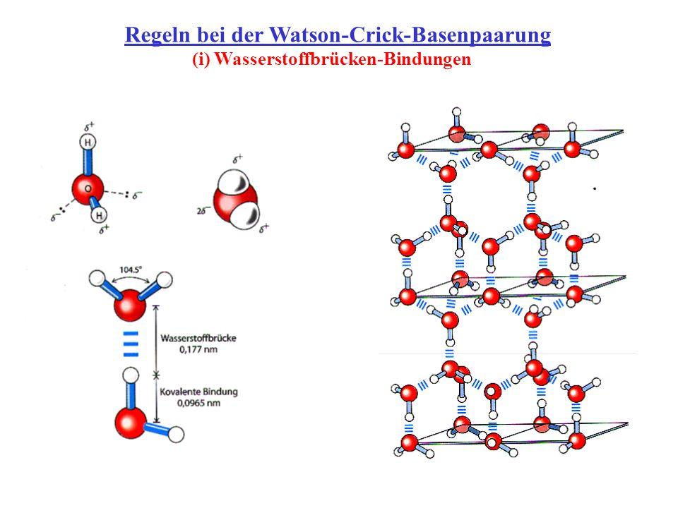 Regeln bei der Watson-Crick-Basenpaarung (i) Wasserstoffbrücken-Bindungen