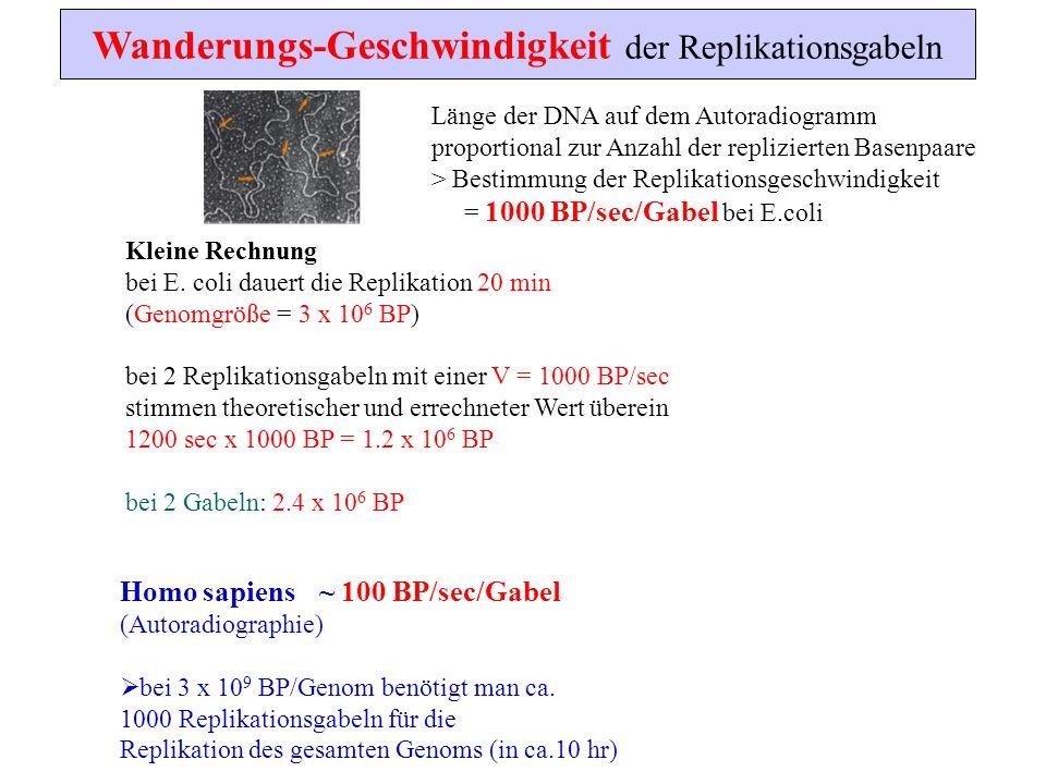 Wanderungs-Geschwindigkeit der Replikationsgabeln Länge der DNA auf dem Autoradiogramm proportional zur Anzahl der replizierten Basenpaare > Bestimmun