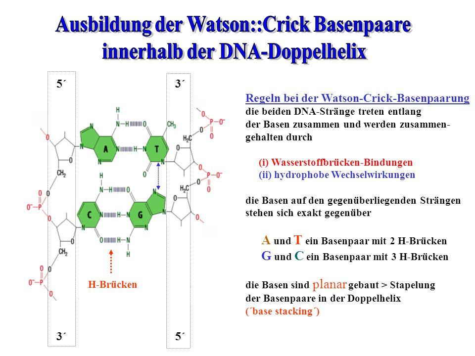 Regeln bei der Watson-Crick-Basenpaarung die beiden DNA-Stränge treten entlang der Basen zusammen und werden zusammen- gehalten durch (i) Wasserstoffb
