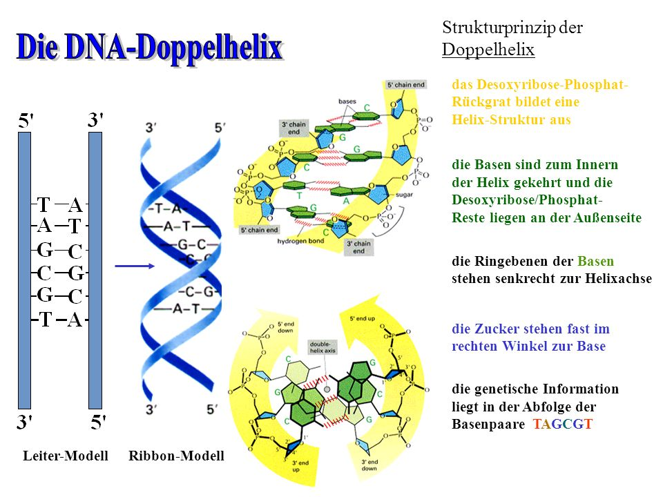 Strukturprinzip der Doppelhelix das Desoxyribose-Phosphat- Rückgrat bildet eine Helix-Struktur aus die Basen sind zum Innern der Helix gekehrt und die