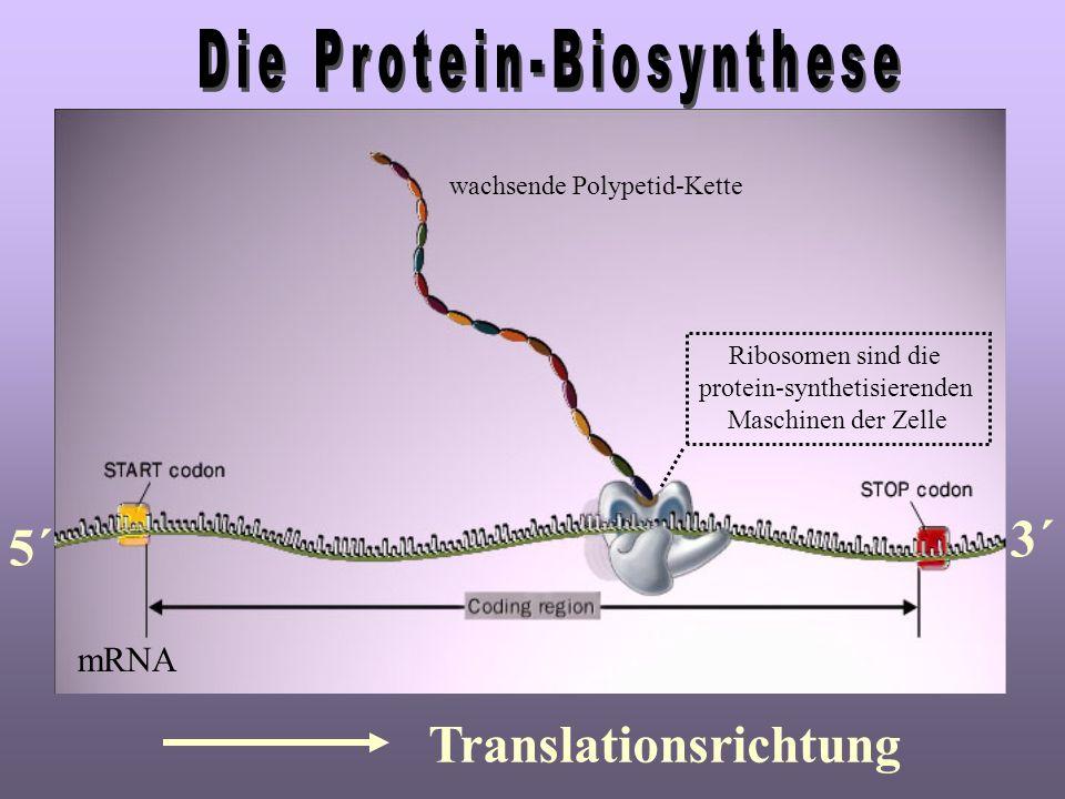wachsende Polypetid-Kette mRNA Ribosomen sind die protein-synthetisierenden Maschinen der Zelle 5´ 3´ Translationsrichtung