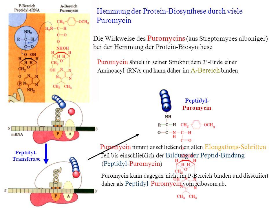Peptidyl- Transferase Peptidyl- Puromycin Hemmung der Protein-Biosynthese durch viele Puromycin Die Wirkweise des Puromycins (aus Streptomyces albonig
