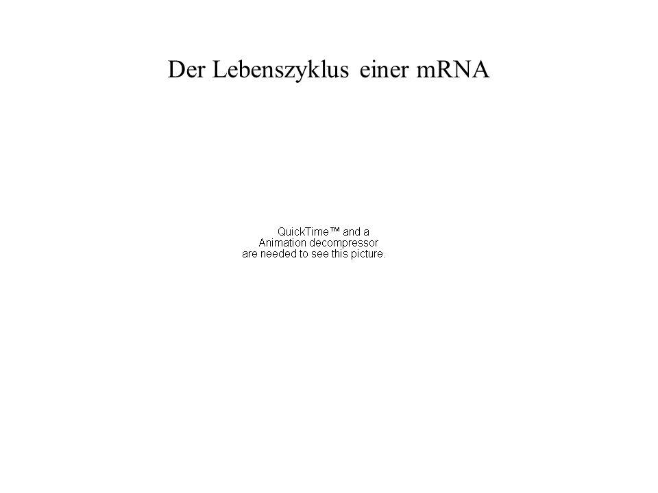 Der Lebenszyklus einer mRNA
