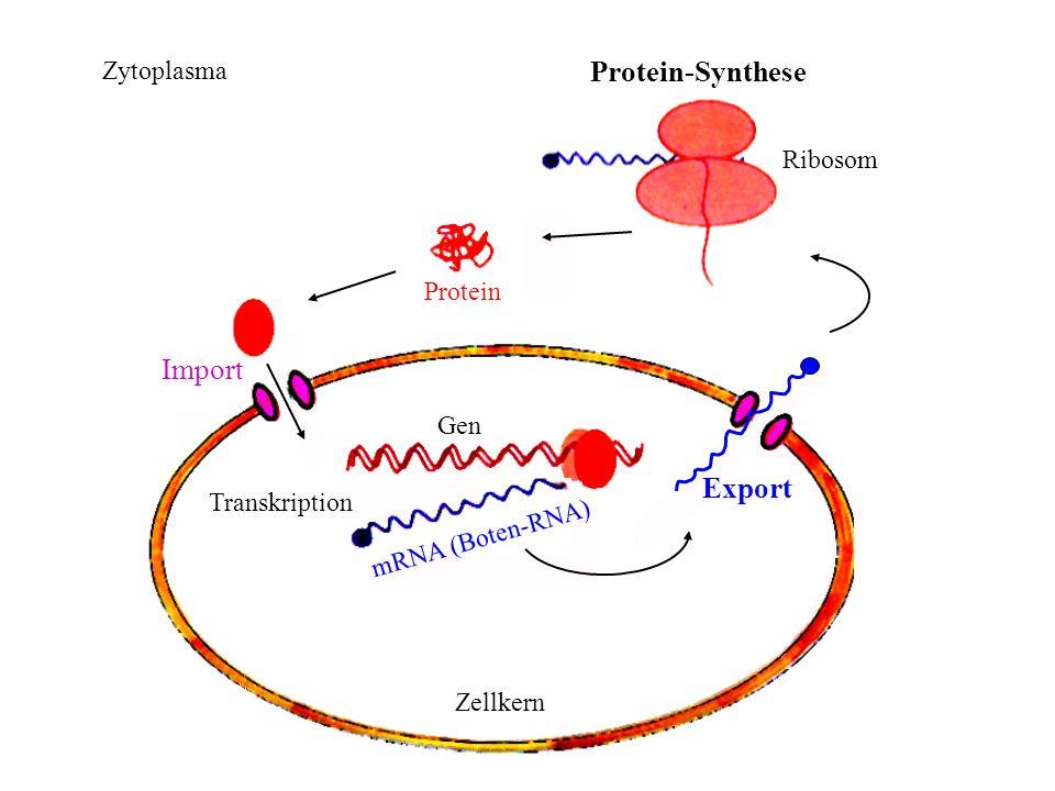 Zytoplasma Zellkern Gen Transkription mRNA (Boten-RNA) Import Protein Protein-Synthese Ribosom Export