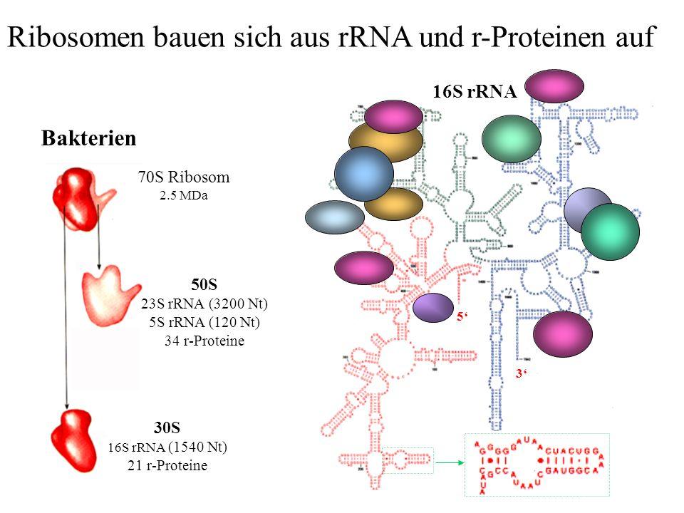 70S Ribosom 2.5 MDa 50S 23S rRNA (3200 Nt) 5S rRNA (120 Nt) 34 r-Proteine Bakterien 30S 16S rRNA (1540 Nt) 21 r-Proteine 16S rRNA 3 5 Ribosomen bauen