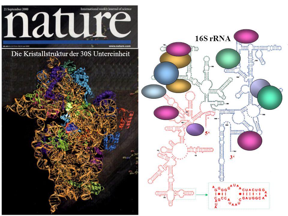 16S rRNA 3 5 Die Kristallstruktur der 30S Untereinheit