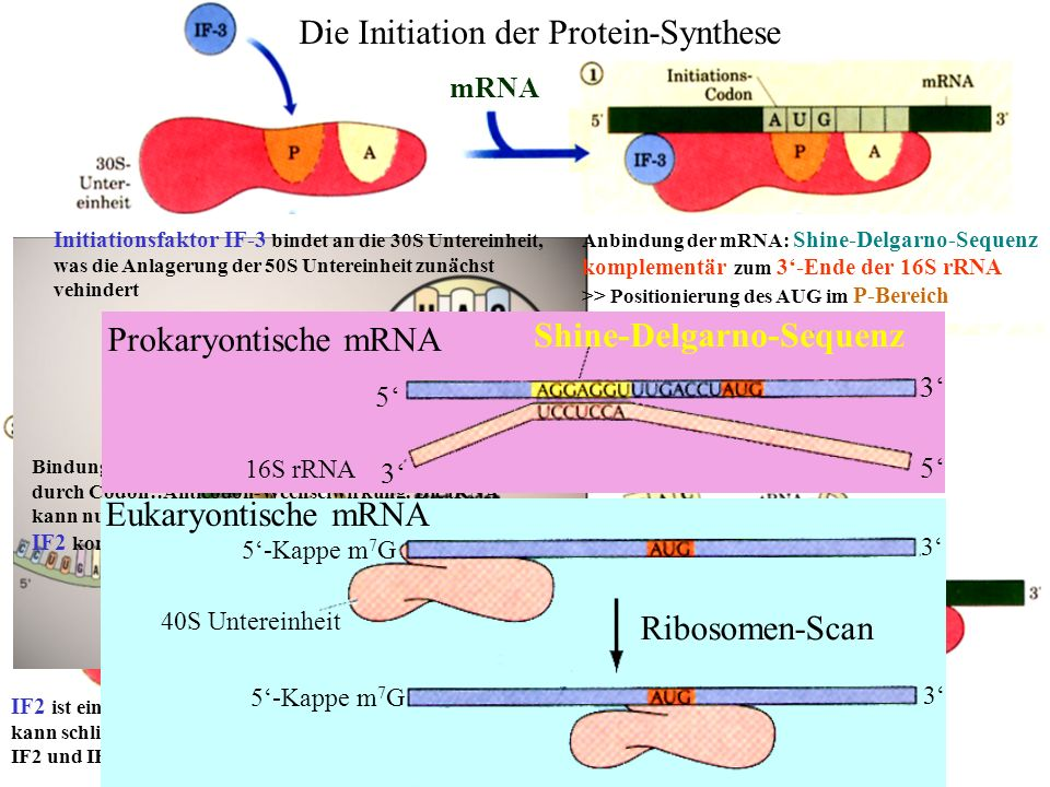 mRNA 50S Unter- einheit fMet Initiationsfaktor IF-3 bindet an die 30S Untereinheit, was die Anlagerung der 50S Untereinheit zunächst vehindert Die Ini