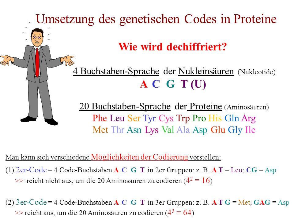 Umsetzung des genetischen Codes in Proteine Wie wird dechiffriert? 4 Buchstaben-Sprache der Nukleinsäuren (Nukleotide) A C G T (U) 20 Buchstaben-Sprac