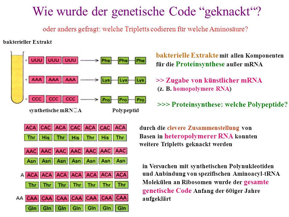 Wie wurde der genetische Code geknackt? oder anders gefragt: welche Tripletts codieren für welche Aminosäure? bakterieller Extrakt synthetische mRNA P
