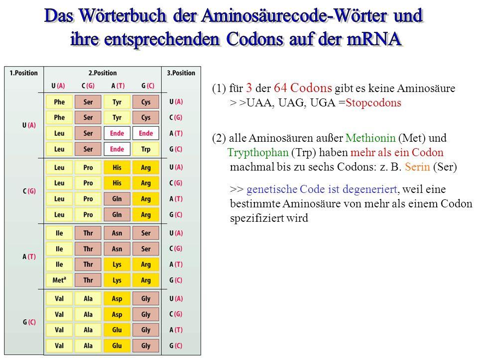 (1) für 3 der 64 Codons gibt es keine Aminosäure > >UAA, UAG, UGA =Stopcodons (2) alle Aminosäuren außer Methionin (Met) und Trypthophan (Trp) haben m