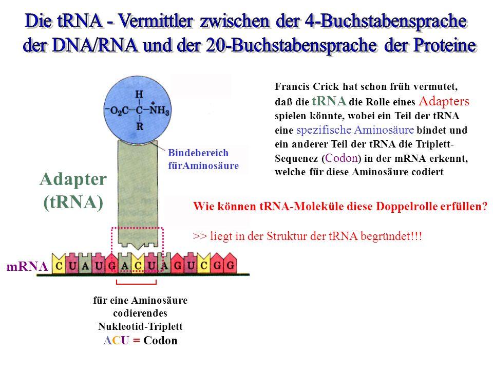 Aminosäure für eine Aminosäure codierendes Nukleotid-Triplett ACU = Codon Francis Crick hat schon früh vermutet, daß die tRNA die Rolle eines Adapters