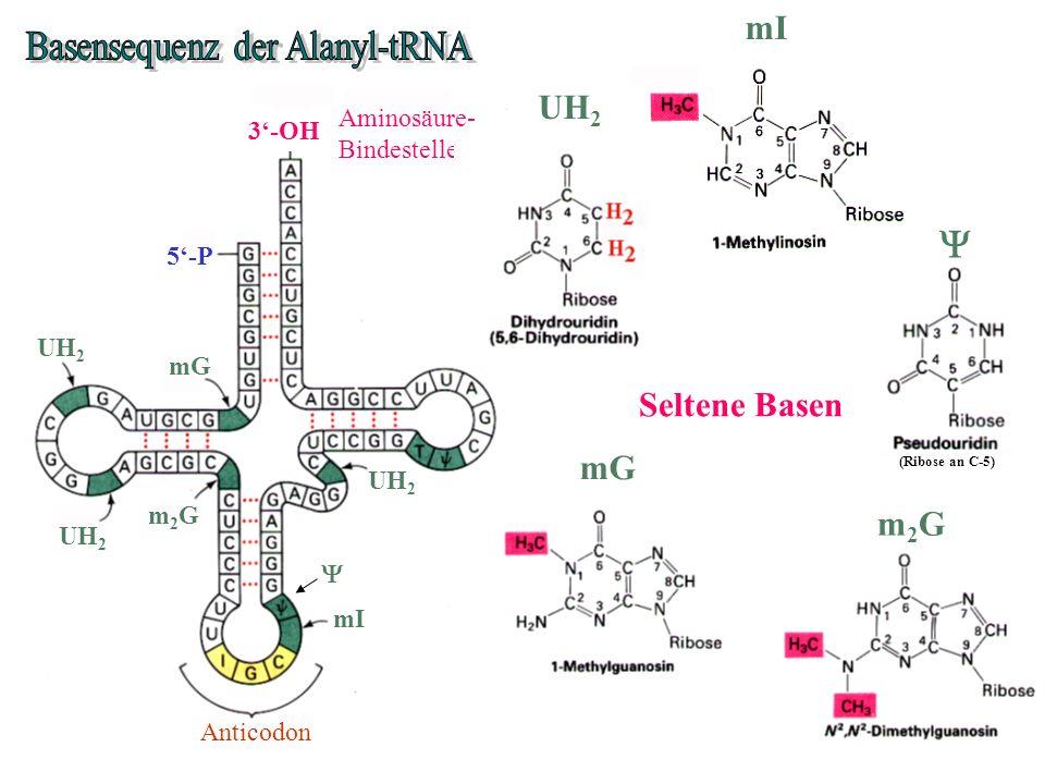 Anticodon 5-P 3-OH Aminosäure- Bindestelle UH 2 mG m2Gm2G mI mG m2Gm2G mI (Ribose an C-5) UH 2 Seltene Basen