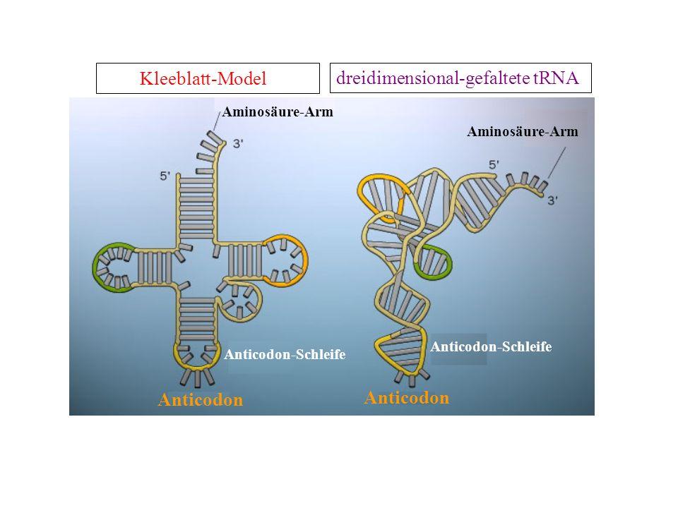 Kleeblatt-Model dreidimensional-gefaltete tRNA Anticodon Anticodon-Schleife Aminosäure-Arm